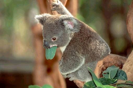 El koala es uno de los animales más representativos de Australia